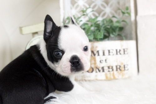 ボストンテリアの子犬(ID:1255411965)の2枚目の写真/更新日:2018-04-13