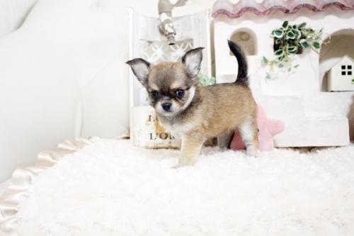 チワワ(ロング)の子犬(ID:1255411966)の1枚目の写真/更新日:2018-04-13
