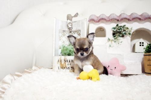 チワワ(ロング)の子犬(ID:1255411966)の2枚目の写真/更新日:2018-04-13