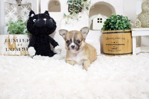 チワワ(ロング)の子犬(ID:1255411967)の2枚目の写真/更新日:2018-04-13