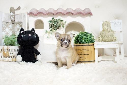 チワワ(スムース)の子犬(ID:1255411967)の3枚目の写真/更新日:2021-02-01