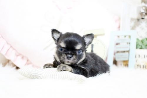チワワ(ロング)の子犬(ID:1255411968)の1枚目の写真/更新日:2018-04-13