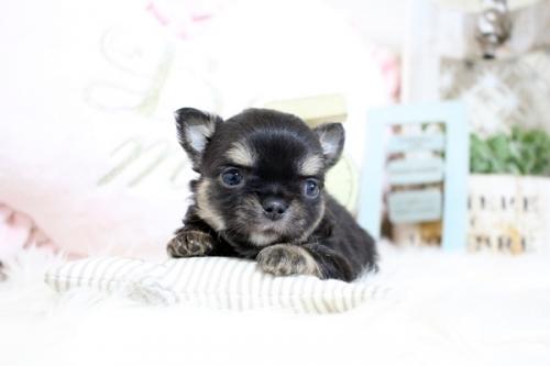 チワワ(ロング)の子犬(ID:1255411968)の2枚目の写真/更新日:2018-04-13