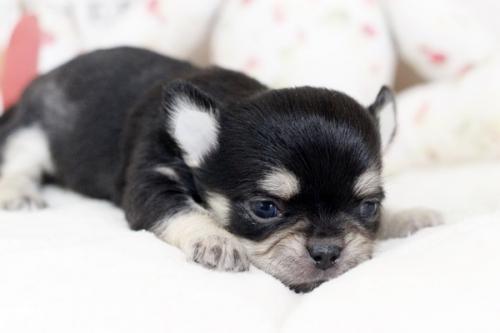 チワワ(ロング)の子犬(ID:1255411969)の2枚目の写真/更新日:2018-04-13