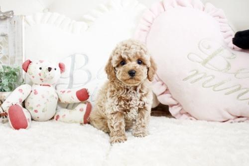 トイプードルの子犬(ID:1255411970)の1枚目の写真/更新日:2018-04-23