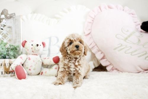 トイプードルの子犬(ID:1255411970)の2枚目の写真/更新日:2018-04-23