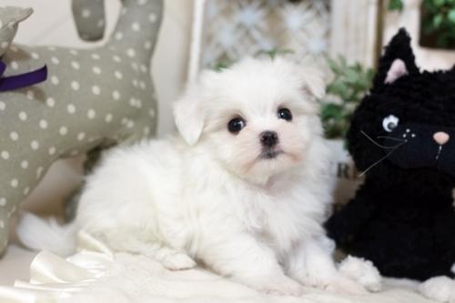 マルチーズの子犬(ID:1255411971)の1枚目の写真/更新日:2018-04-23