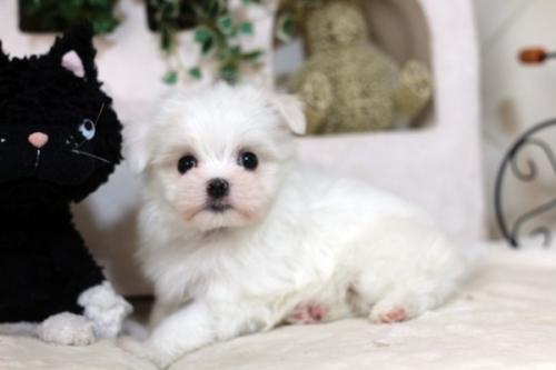 マルチーズの子犬(ID:1255411971)の2枚目の写真/更新日:2018-04-23