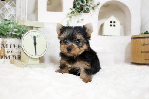 ヨークシャーテリアの子犬(ID:1255411973)の1枚目の写真/更新日:2018-04-23