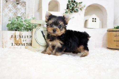 ヨークシャーテリアの子犬(ID:1255411973)の2枚目の写真/更新日:2018-04-23
