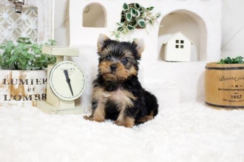 ヨークシャーテリアの子犬(ID:1255411973)の3枚目の写真/更新日:2018-04-23