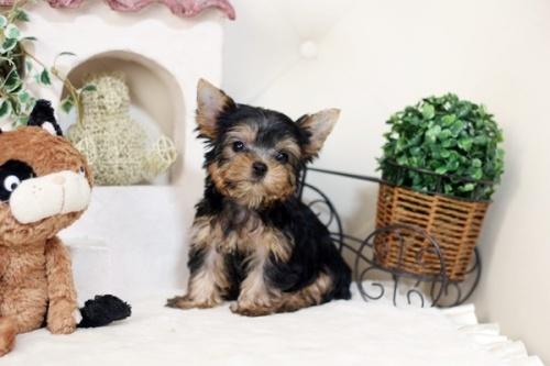 ヨークシャーテリアの子犬(ID:1255411974)の1枚目の写真/更新日:2018-04-23