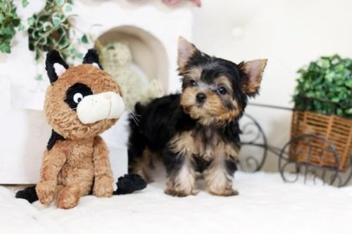 ヨークシャーテリアの子犬(ID:1255411974)の2枚目の写真/更新日:2018-04-23