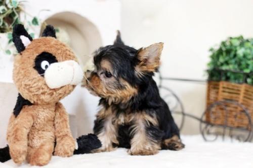 ヨークシャーテリアの子犬(ID:1255411974)の3枚目の写真/更新日:2018-04-23