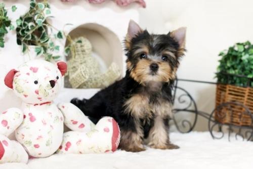 ヨークシャーテリアの子犬(ID:1255411975)の1枚目の写真/更新日:2018-04-23
