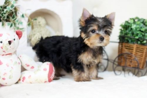 ヨークシャーテリアの子犬(ID:1255411975)の2枚目の写真/更新日:2018-04-23