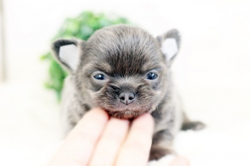 チワワ(ロング)の子犬(ID:1255411976)の1枚目の写真/更新日:2018-04-25