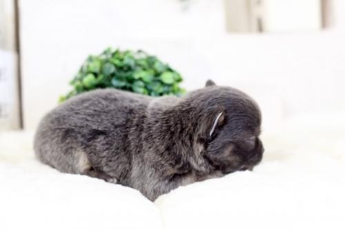 チワワ(ロング)の子犬(ID:1255411976)の2枚目の写真/更新日:2018-04-25