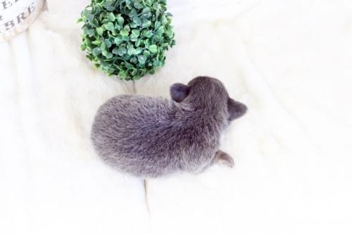 チワワ(ロング)の子犬(ID:1255411976)の3枚目の写真/更新日:2018-04-25