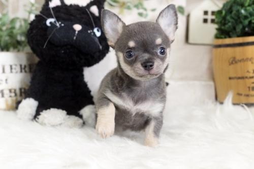 チワワ(ロング)の子犬(ID:1255411977)の1枚目の写真/更新日:2018-04-25