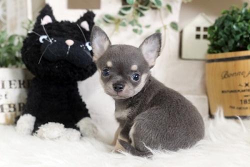 チワワ(ロング)の子犬(ID:1255411977)の2枚目の写真/更新日:2018-04-25