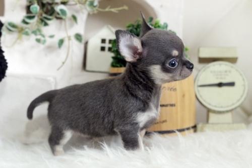 チワワ(ロング)の子犬(ID:1255411977)の3枚目の写真/更新日:2018-09-19