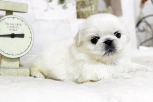 ペキニーズの子犬(ID:1255411978)の1枚目の写真/更新日:2018-05-01