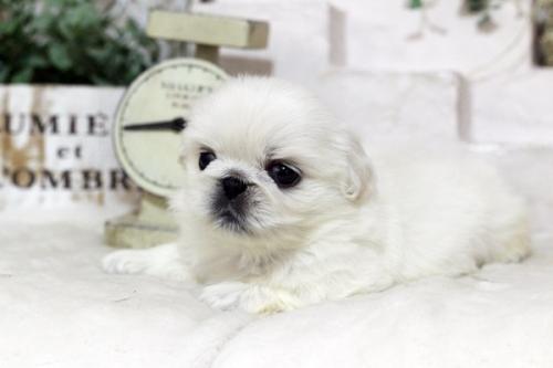 ペキニーズの子犬(ID:1255411978)の2枚目の写真/更新日:2018-05-01