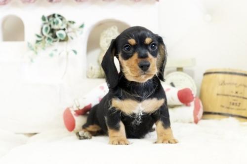 カニンヘンダックスフンド(ロング)の子犬(ID:1255411979)の1枚目の写真/更新日:2018-05-05