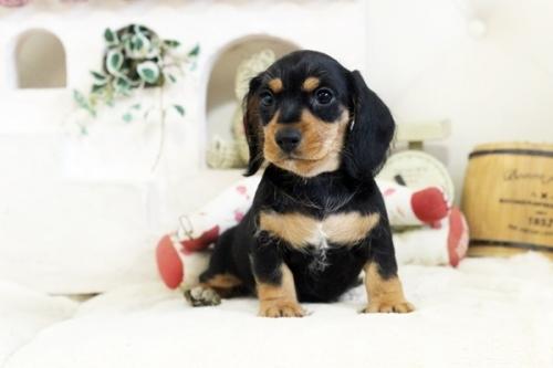 カニンヘンダックスフンド(ロング)の子犬(ID:1255411979)の2枚目の写真/更新日:2018-05-05