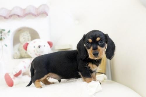 カニンヘンダックスフンド(ロング)の子犬(ID:1255411979)の3枚目の写真/更新日:2018-05-05