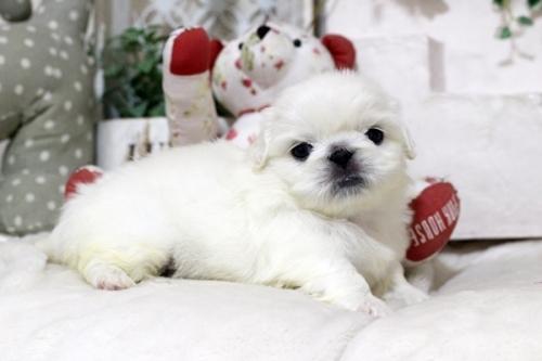 ペキニーズの子犬(ID:1255411980)の1枚目の写真/更新日:2018-05-01