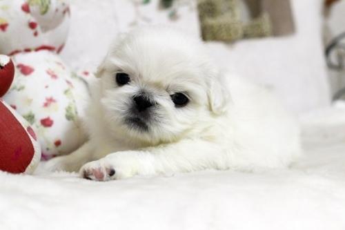 ペキニーズの子犬(ID:1255411980)の2枚目の写真/更新日:2018-05-01