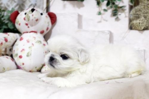 ペキニーズの子犬(ID:1255411980)の3枚目の写真/更新日:2018-05-01