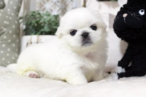 ペキニーズの子犬(ID:1255411981)の1枚目の写真/更新日:2018-05-01
