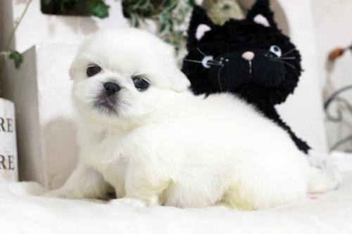 ペキニーズの子犬(ID:1255411981)の2枚目の写真/更新日:2018-05-01