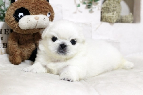 ペキニーズの子犬(ID:1255411982)の2枚目の写真/更新日:2018-05-01