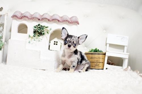 チワワ(ロング)の子犬(ID:1255411983)の1枚目の写真/更新日:2018-05-07