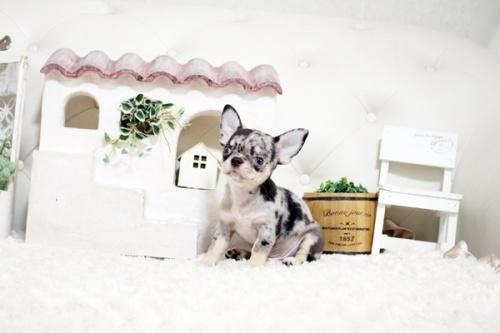 チワワ(ロング)の子犬(ID:1255411983)の2枚目の写真/更新日:2018-05-07