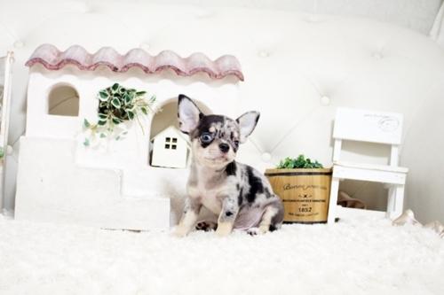 チワワ(ロング)の子犬(ID:1255411983)の3枚目の写真/更新日:2018-05-07
