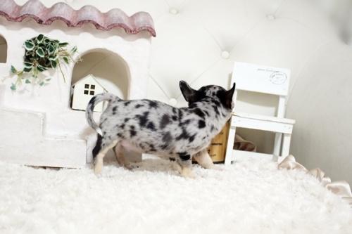 チワワ(ロング)の子犬(ID:1255411983)の4枚目の写真/更新日:2021-06-08