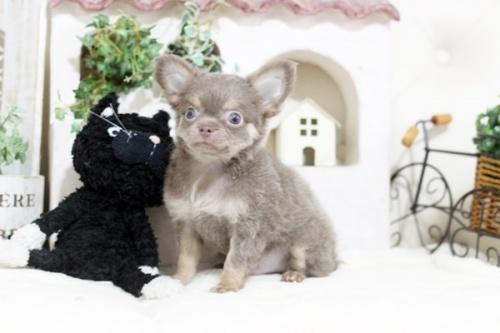 チワワ(スムース)の子犬(ID:1255411984)の1枚目の写真/更新日:2018-11-23