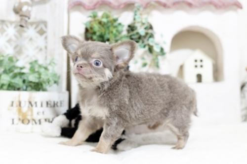 チワワ(スムース)の子犬(ID:1255411984)の2枚目の写真/更新日:2018-11-23