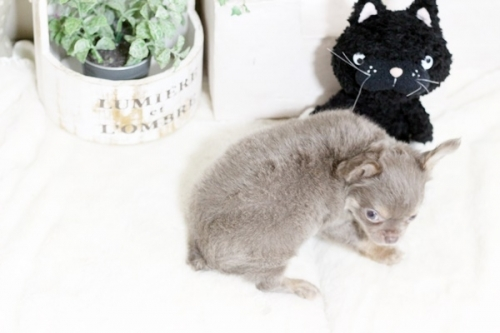 チワワ(スムース)の子犬(ID:1255411984)の3枚目の写真/更新日:2018-05-07
