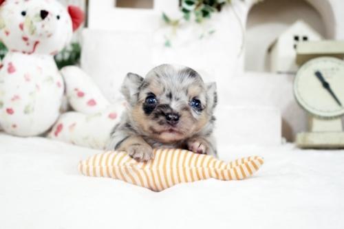 チワワ(ロング)の子犬(ID:1255411985)の1枚目の写真/更新日:2018-12-11
