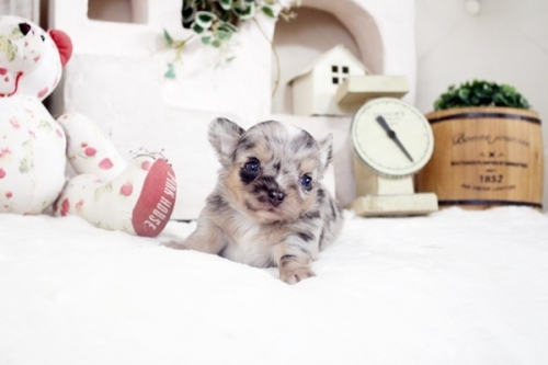 チワワ(ロング)の子犬(ID:1255411985)の3枚目の写真/更新日:2018-12-11