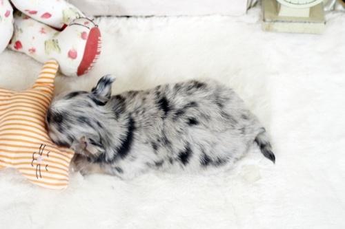 チワワ(ロング)の子犬(ID:1255411985)の4枚目の写真/更新日:2018-12-11