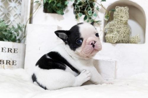 フレンチブルドッグの子犬(ID:1255411986)の1枚目の写真/更新日:2018-05-07