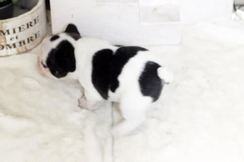 フレンチブルドッグの子犬(ID:1255411986)の4枚目の写真/更新日:2018-05-07