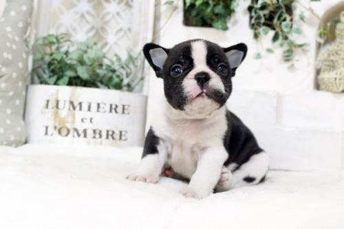 フレンチブルドッグの子犬(ID:1255411987)の1枚目の写真/更新日:2018-05-07